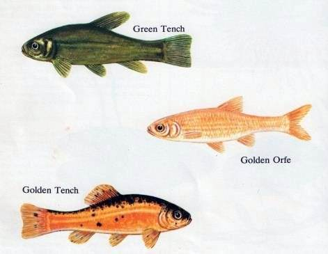 Garden pond fish types 31 for Types of pond design